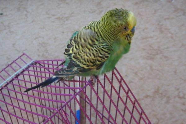 У попугайчика ухудшилось самочувствие