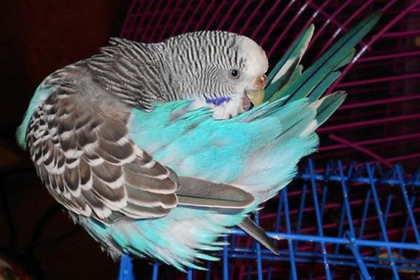 Блохи атакуют попугая