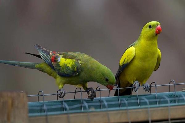 Роскошные горные попугаи легко идут на контакт