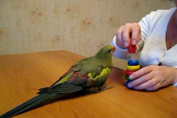 Попугаи без проблем поддаются дрессировке