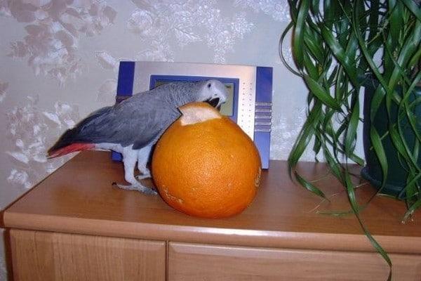 Попугая заинтересовал апельсин