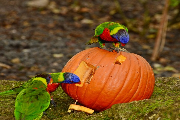 Попугай кушает тыкву