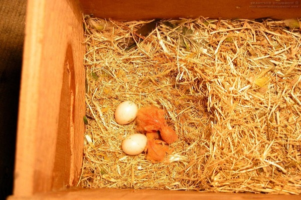 У семейства корелл появились птенцы