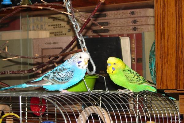 Пара попугаев живет дольше, чем один