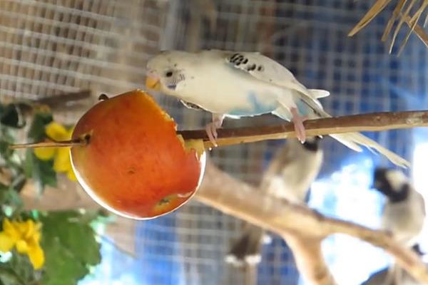 Попугай кушает яблоко