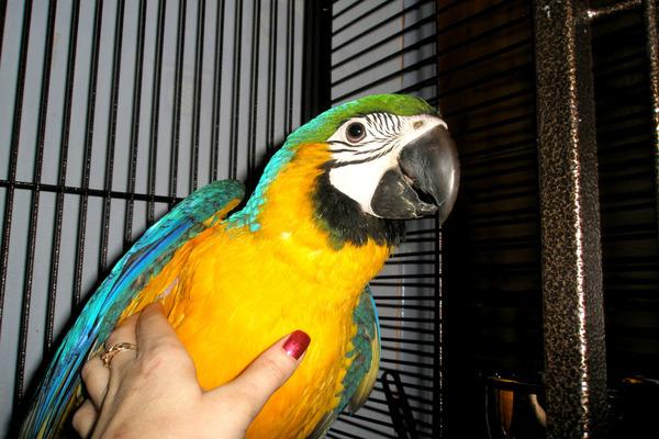 Попугай ара - долгожитель