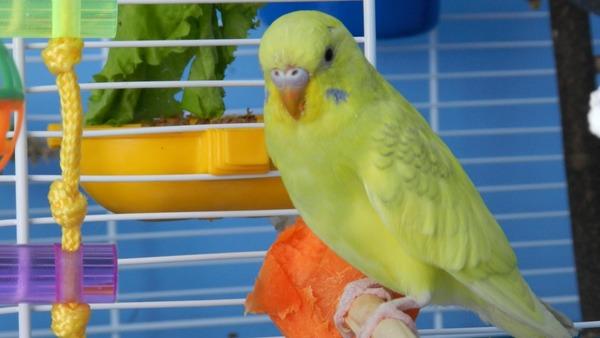 Во время адаптации попугайчик не должен ни с кем контактировать