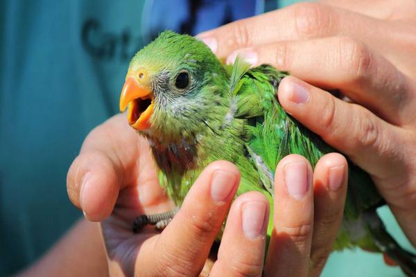 В дни адаптации нельзя ловить и брать попугая на руки