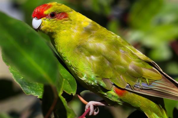 Новозеланская прыгающая птица