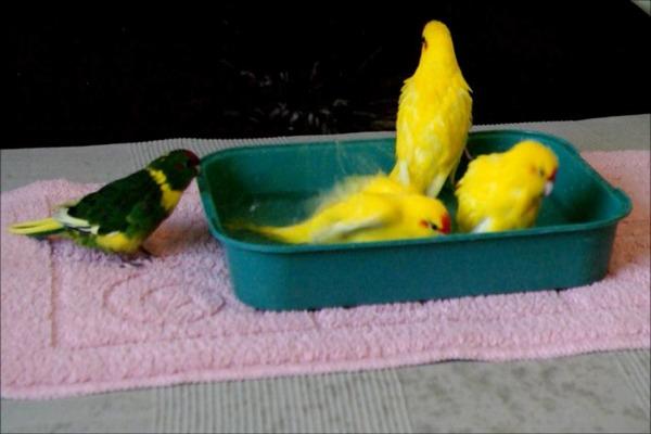 Какарики купаются