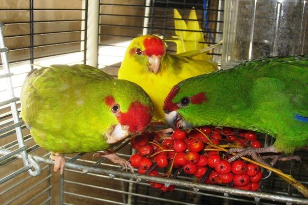 Попугайчики едят рябину