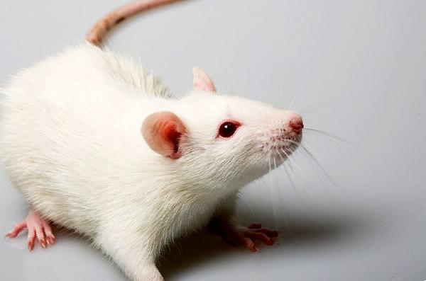 Крыса заболела микоплазмозом
