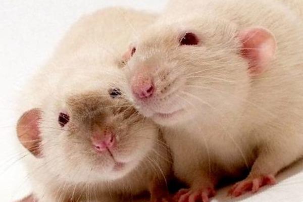 Заболевший крыс может заразить своего сородича