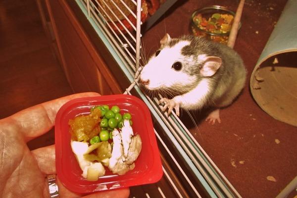 Обеспечиваем крысу полноценным питанием