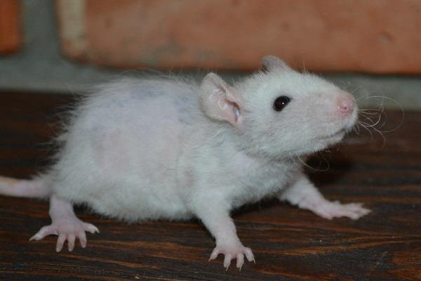 Общие сведения о крысе