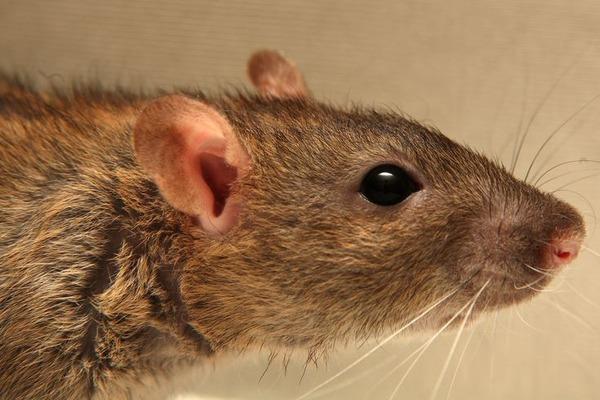 Облик головы крысы