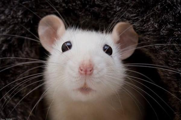 Крысиная мордочка