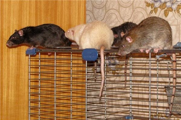 У самок крыс хвосты длиннее