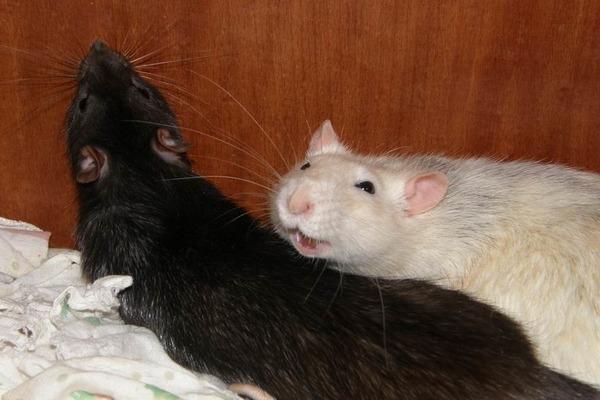 Крыса показывает хорошее настроение