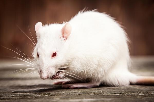 Крыса скрипит зубами