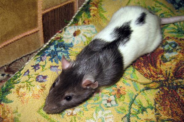 У домашних крыс нет крепкого иммунитета