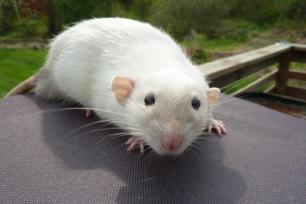 Крысы не распознают оттенков