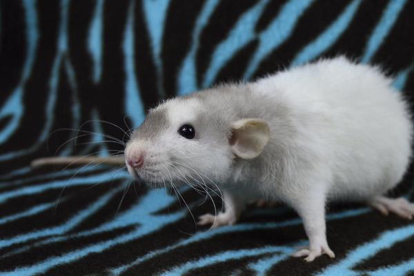 Крысы видят зеленый и синий цвета