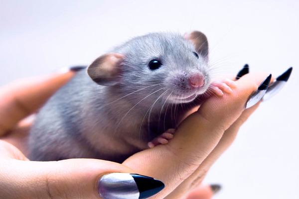 Расценки на декоративных крыс