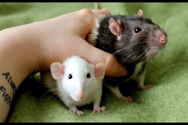 Подходим к покупке крысы серьезно