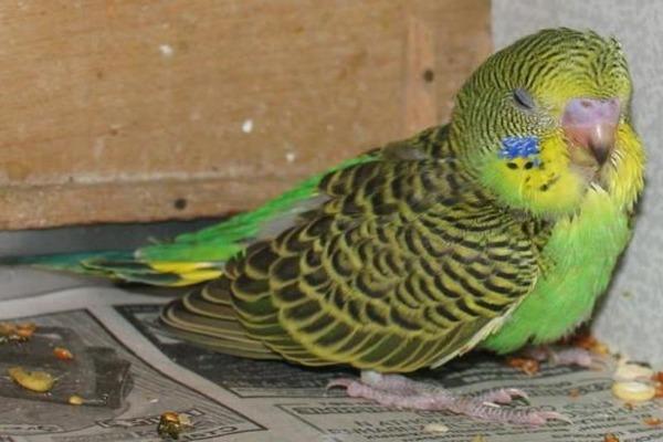 У попугая признаки плохого самочувствия
