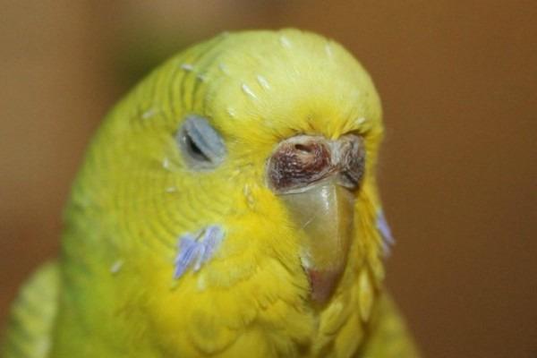 У птицы изменился цвет восковицы