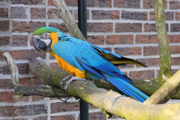 Говорящий попугай ара