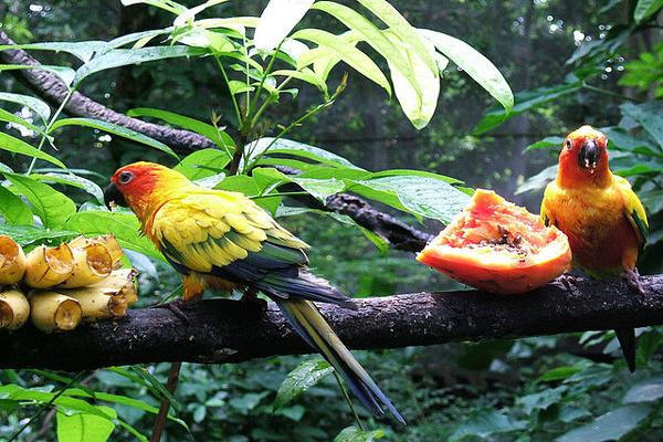 Еда попугаев в дикой среде