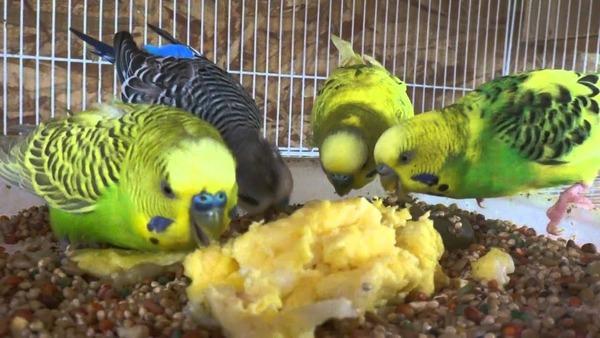 Попугаи кушают пищу, посыпанную активированным углем