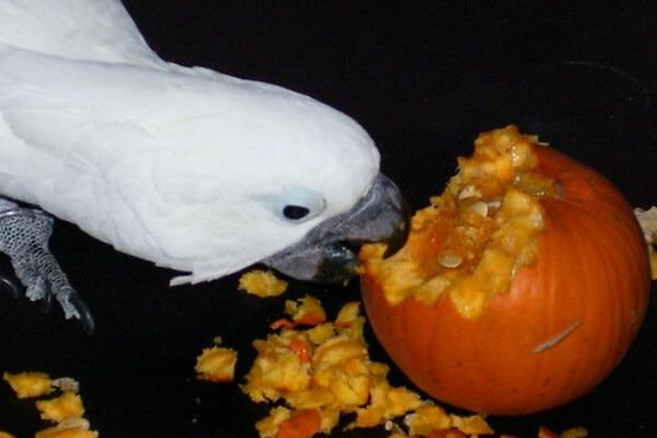 Попугай увлекся поеданием тыквы