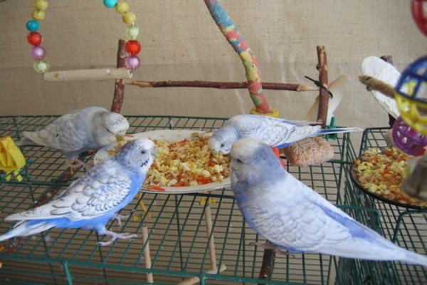 Каша в рационе попугаев