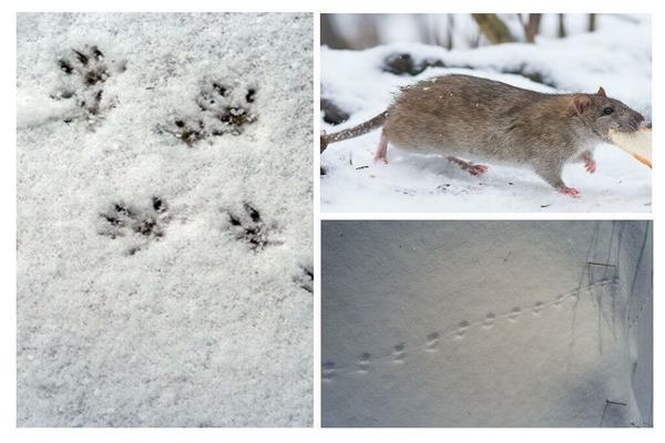 Отпечатки лапок дикой крысы на снегу