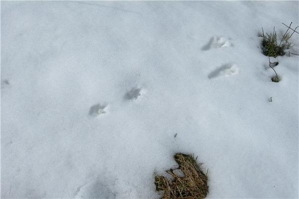 Отпечатки лапок грызуна на снегу