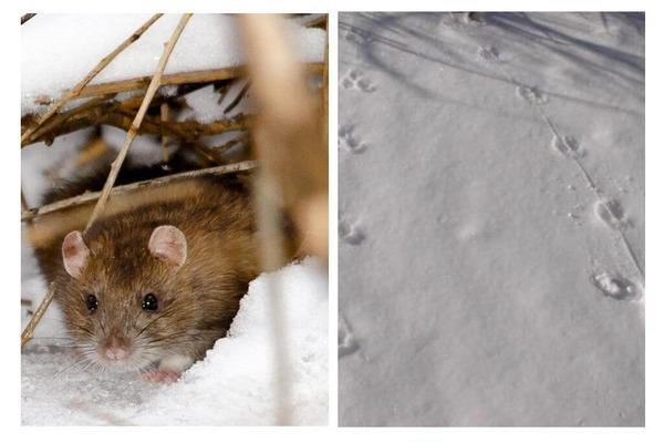 По освоенной территории крыса не ходит, а скачет
