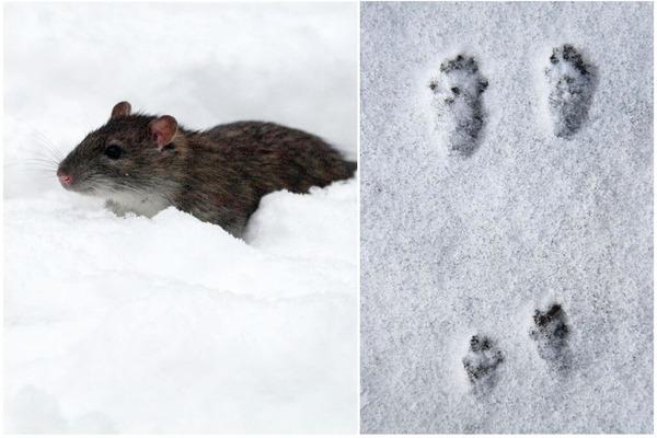 Если снега немного, крысины отпечатки будут безхвостыми