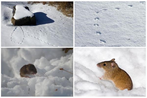 Мышиные следы