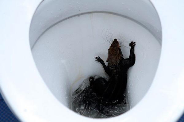 Крыса может появится в туалете