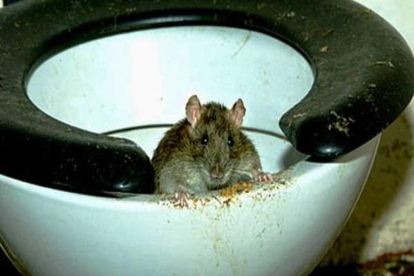 Крысу нельзя выпускать живой - она привет сородичей