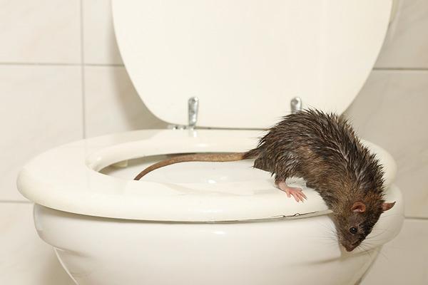 Смыть живую крысу в канализацию невозможно