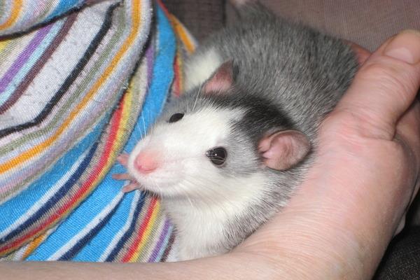 Декоративные крысы породы хаски