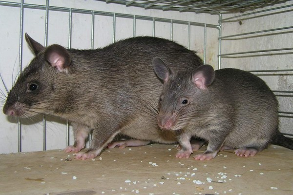 Гамбийская крыса легко поддается дрессировке