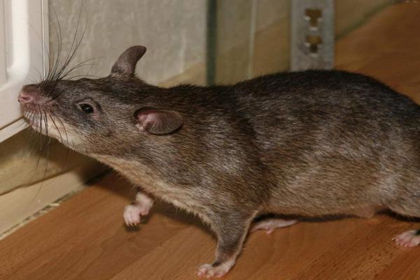 Крысы ведут ночной образ жизни