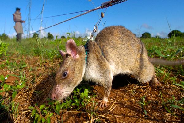 Домашнее содержание крысы