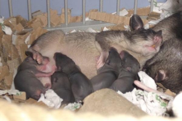 Размножение крысы