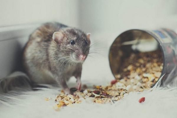 Крысиный рацион